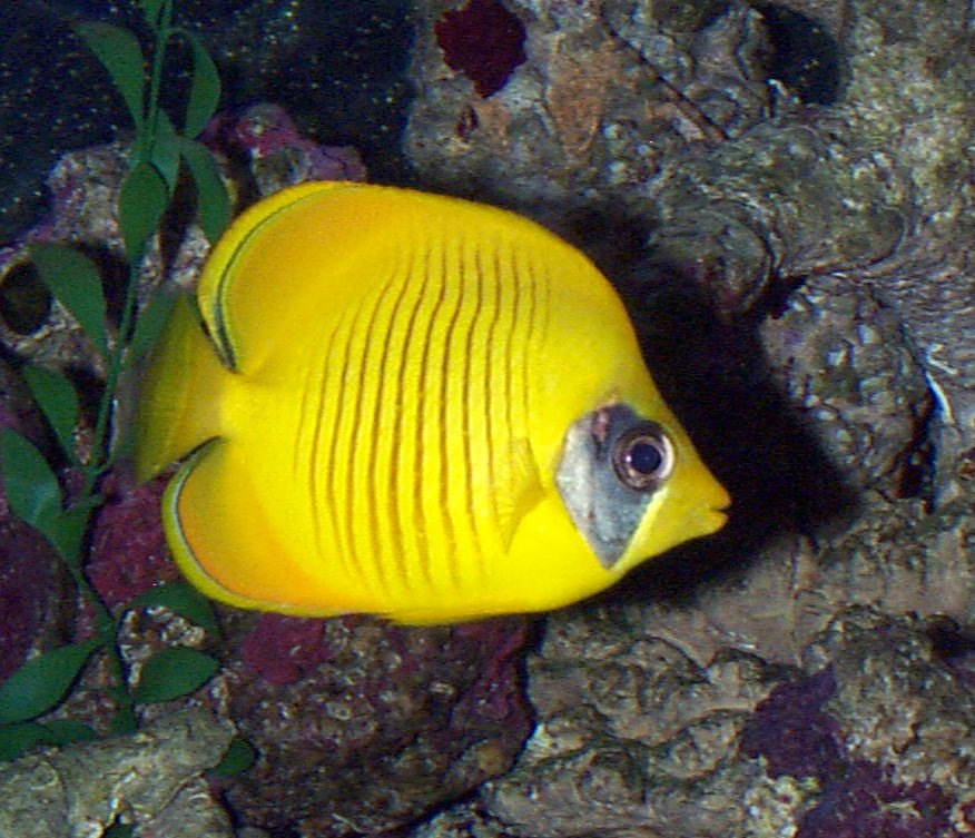Golden butterfly fish whozoo for Scientific name of fish