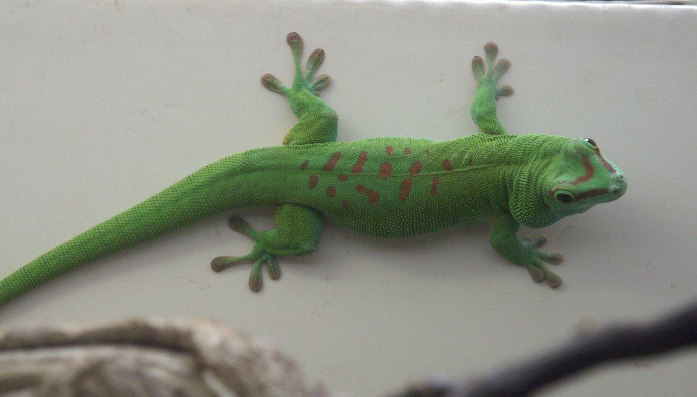 day gecko whozoo