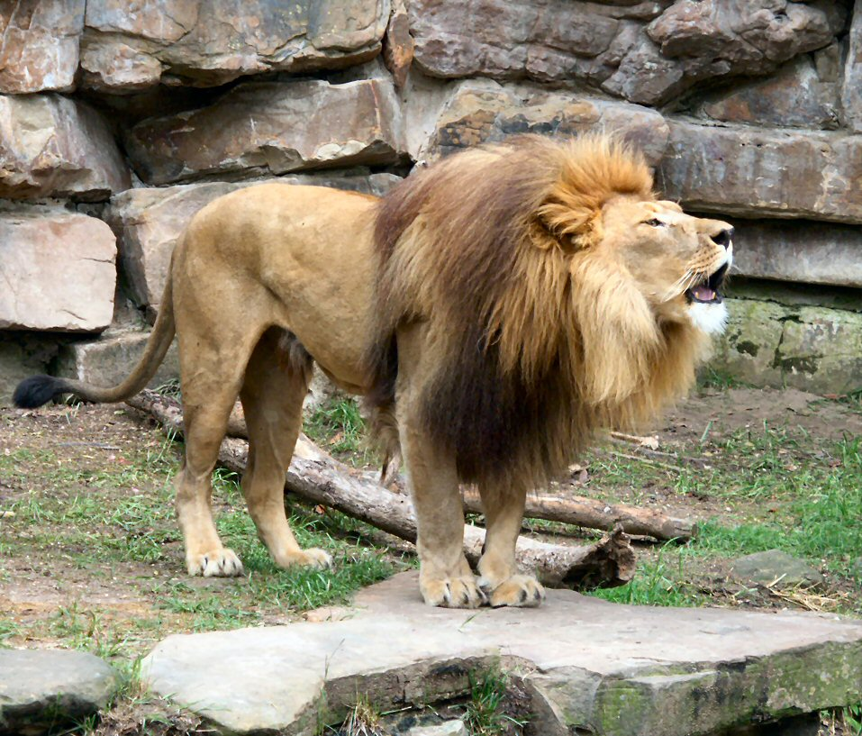 African Lions: WhoZoo