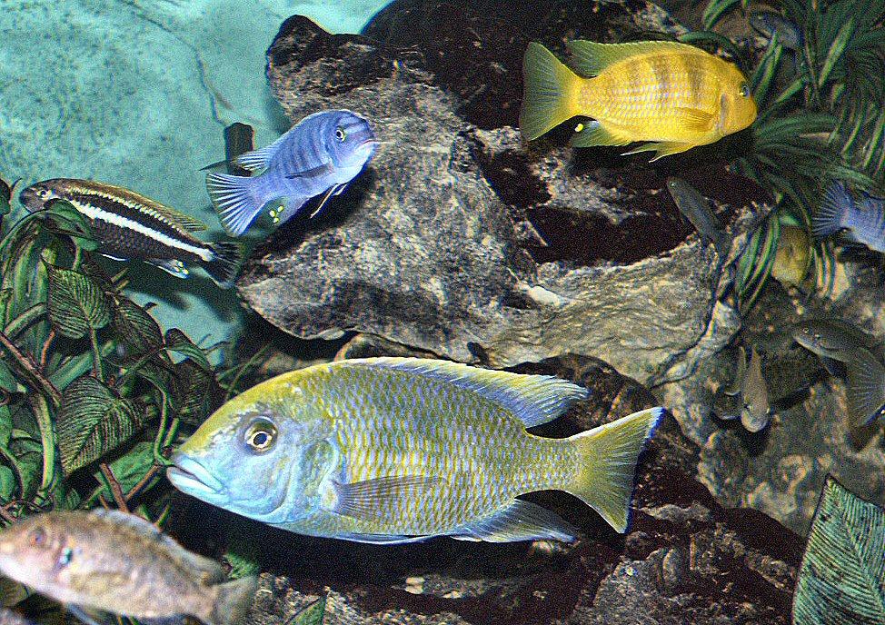 Breeding Lake Malawi Cichlids Lake Malawi Cichlids at The