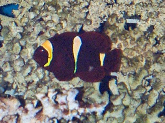 Yellowstripe Maroon Clownfish Yellow stripe maroon clownfishYellow Stripe Maroon Clownfish